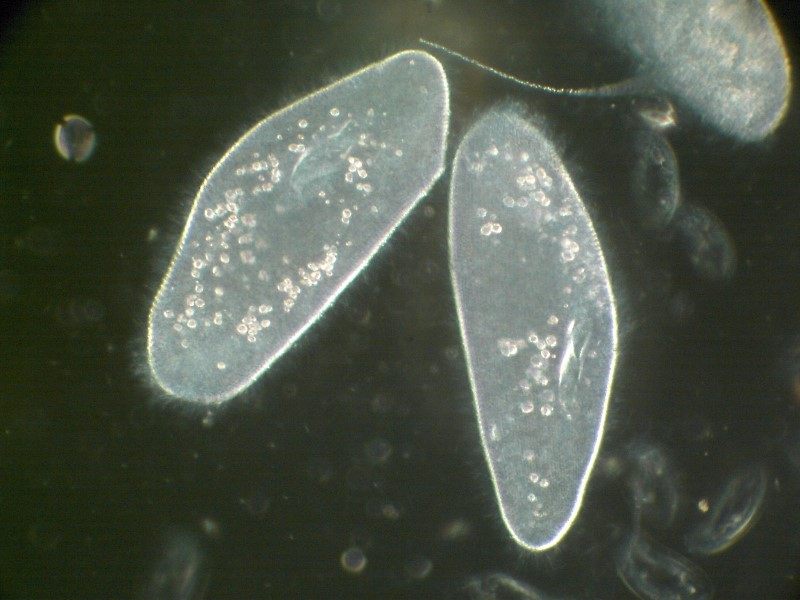 Tetrahymena thermophile, also called a 'ciliate'
